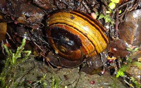 New Zealand's carnivourous snail Powelliphanta hochstetteri with a tracking device