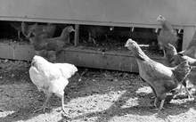 Mike the headless chicken with other chickens on his farm.