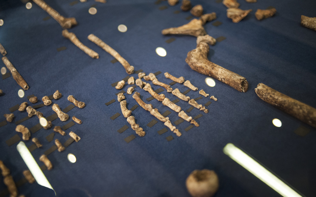 A Homo naledi skeleton laid out on display on 10 September.