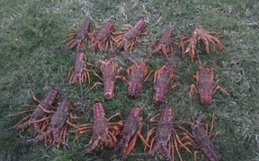 Some of the 55 crayfish poached from the Te Tapuwae o Rongokako Marine Reserve.