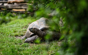 Animal close-up photography.  giant turtle walking on green grass.