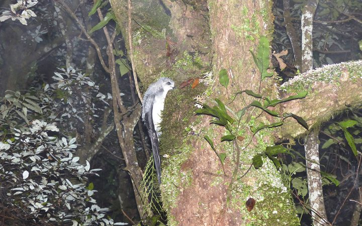 A translocated fledging tītī climbing a tree for its maiden flight on the Maungaharuru Range