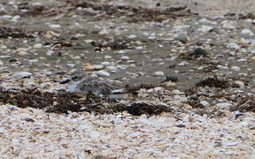 A dotterel in the shells and sand at Te Haruhi Bay.