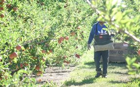 RSE worker in a Hawke's Bay orchard.