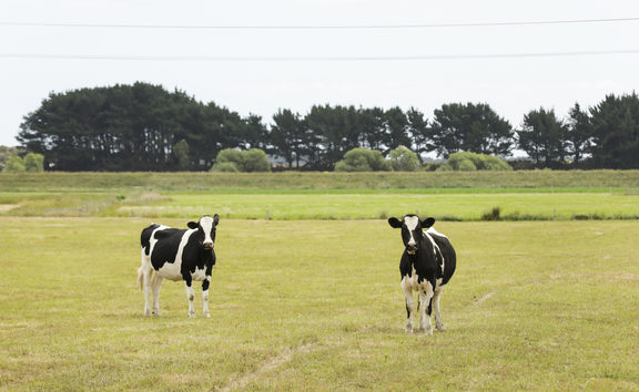 Dry land and cows, parched land in central North Island.