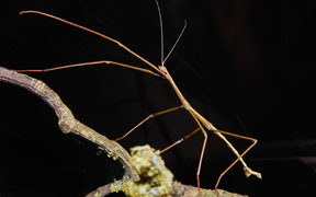 The first male unarmed stick insect ever recorded.