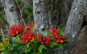Southern rata, Auckland Islands
