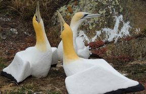 Nigel the gannet and his concrete friends on Mana Island.