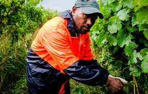 RSE Worker Andre Vegen from Vanuatu prunes grapes in a Marlborough vineyard.