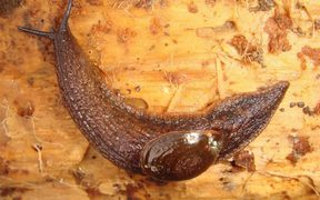 The Paua Slug - Schizoglossa novoseelandica