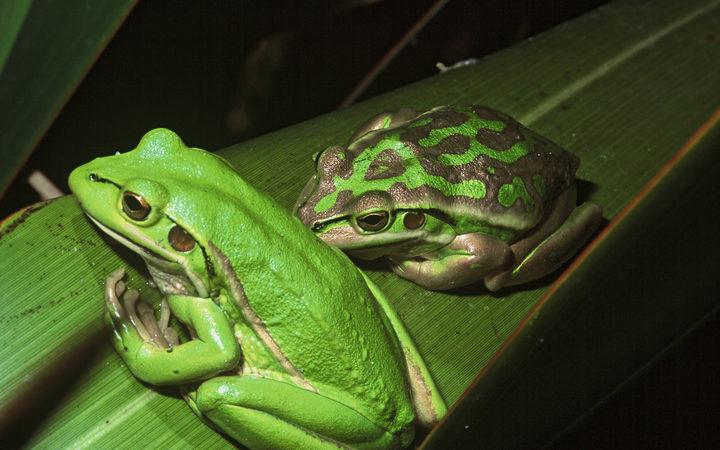 screeching frogs no music to papamoa s ears rnz news