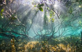 Mangroves pictured from under water