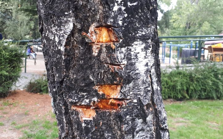 Vandalism to one of the town's birch trees.
