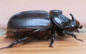 The disease-resistant variety of rhinoceros beetle.