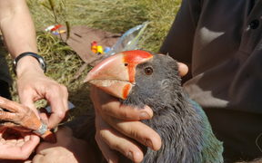 A young takahē, named Telfer, is given a numbered metal leg band and a radio transmitter.