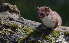 A stoat perched on a log