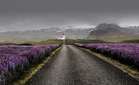 Lupins in Westfjords Region, Iceland