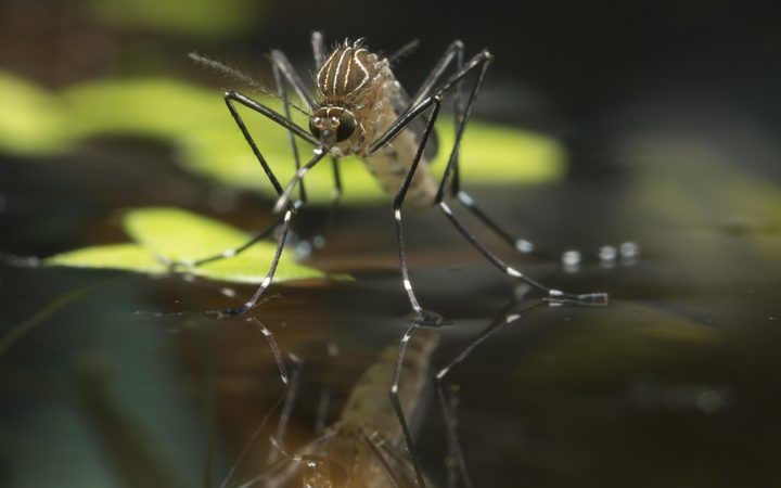 The disease-carrying Aedes notoscriptus mosquito