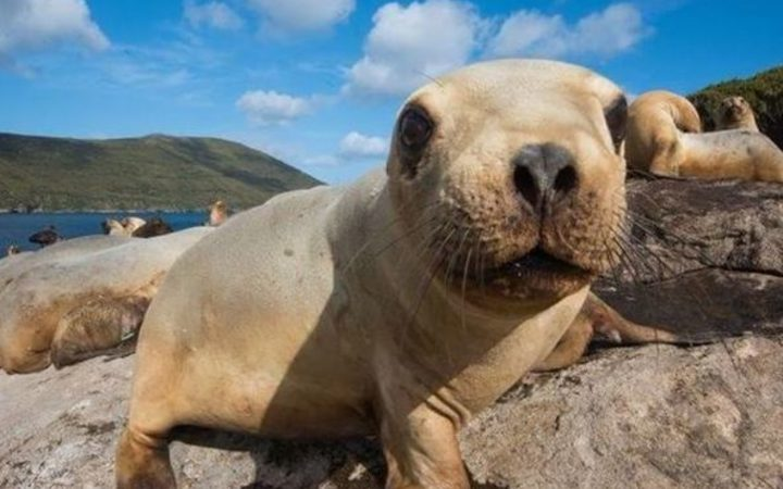 The main breeding ground for New Zealand sea lion / rāpoka pups is Auckland Islands.