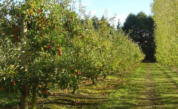 Rows of apple trees at Mill Orchard