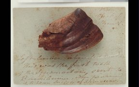 Fossil Iguanodon tooth, circa 132-137 million years ago. Gift of