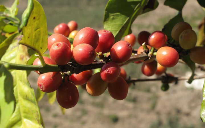Ripe coffee fruits in Yemen