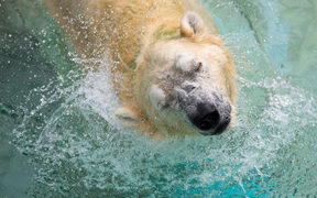 Inuka, a senior polar bear, shakes his head as he lounges in the pool in his enclosure at the Singapore Zoo on December 26, 2017.