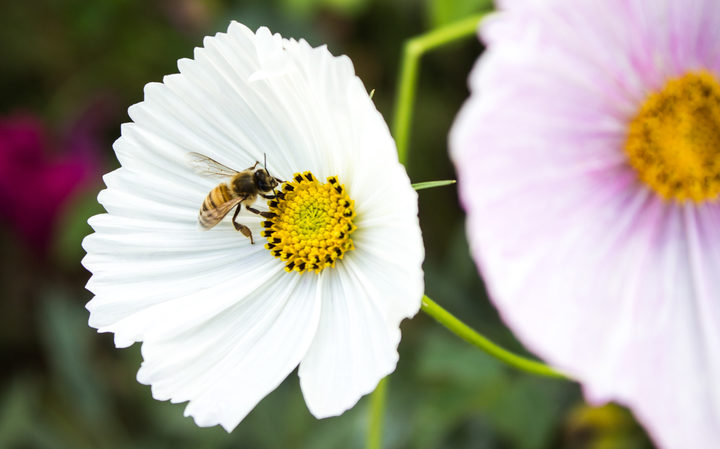 A bee collects pollen from a white flower in Rawene, New Zealand.