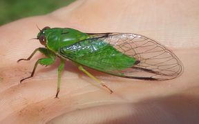 The April green cicada (Kikihia ochrina) has a very high-pitched call that children can hear, but most adults can't.