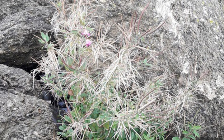 Biosecurity New Zealand has detected a new invasive weed, great willowherb, at five sites in Canterbury.