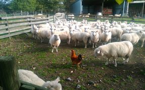Roger the Rooster, who helps herd Steve Wyn Harris herd his sheep in Hawkes Bay