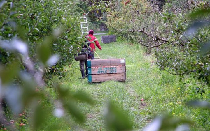 Apple picking in Hawkes Bay
