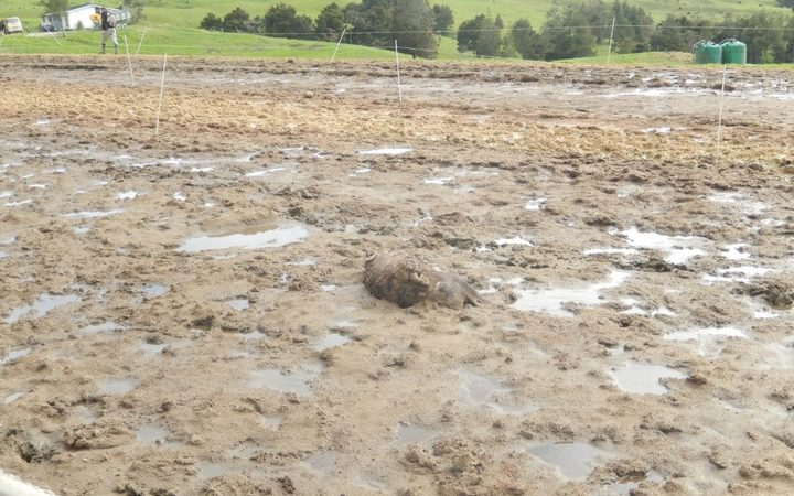 A cow's corpse on dairy effluent on a feed pad at a farm run by Clear Ridge Station in 2015.
