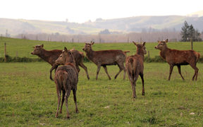 Stags on a South Canterbury farm.