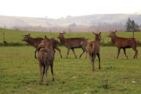 Stags on a deer farm in South Canterbury