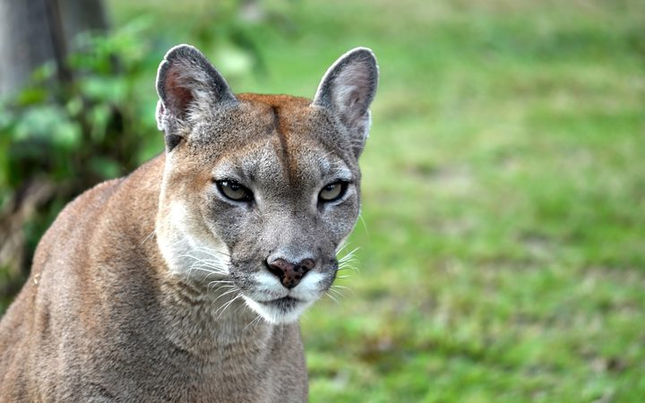 Cougar kills one man, injures another in rare attack outside Seattle