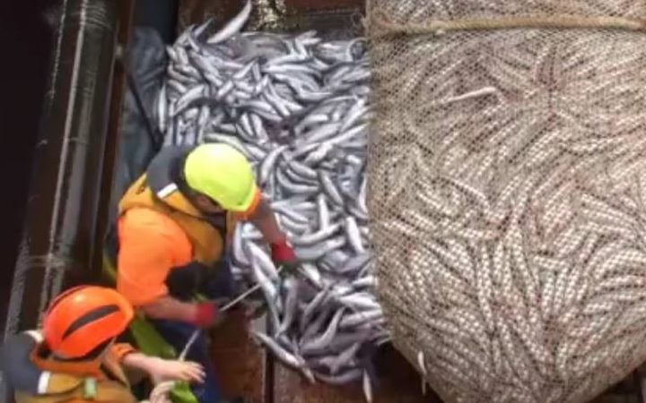 Southern blue whiting are brought aboard a fishing vessel