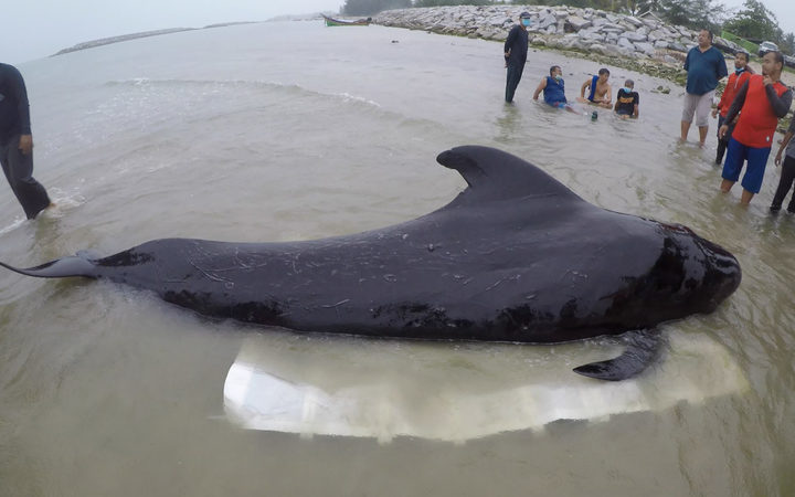 Dead whale in Thailand had 17 pounds of plastic in its stomach