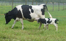 A transgenic cow with her calf.