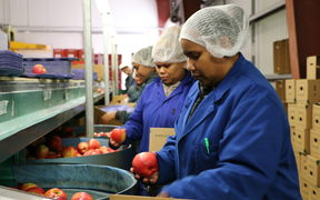 Solomon Islanders working in the pack house at JR's Orchards in New Zealand under the Recognised Seasonal Employer program.