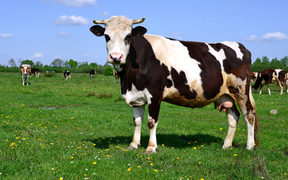 Cow on farm. (File photo)