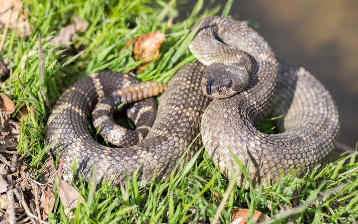 Texas man nearly dies after bite from severed snake head | RNZ News