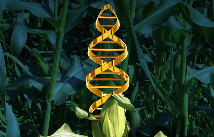 Corn plant in a crop field with a DNA strand symbol in the vegetable as an icon of produce technology.