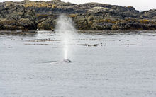 A gray whale spouting off the coast of Tofino which is a popular destination for tourists.