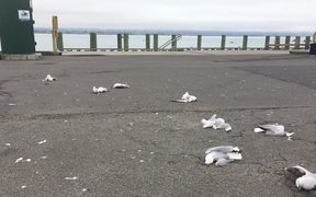 At least nine red-billed gulls were killed this morning.
