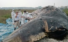 Marine biologists discover a mass of plastic bags and fishing net in the stomach of a dead whale in Taiwan.