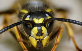 Wasps cost New Zealand millions of dollars a year in agricultural losses and ecological damage.