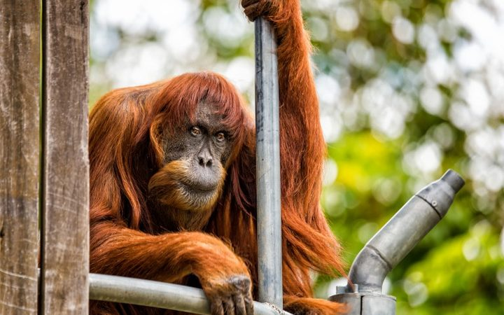World's oldest Sumatran orangutan dies aged 62 in Perth Zoo