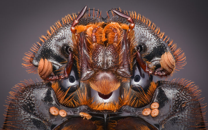 Extreme close-up of a dung beetle