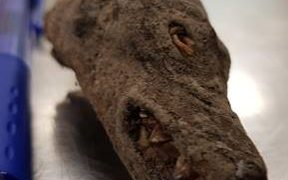Partially mummified bats head found in a traveller's luggage at Auckland Airport.